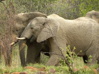 Olifanten in Marakele