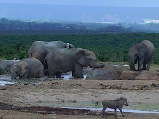 Olifanten in Addo