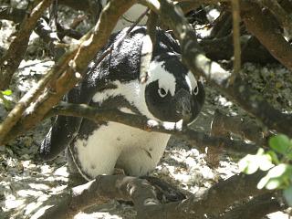 Een pinguin kijkt ons aan bij Boulders Beach