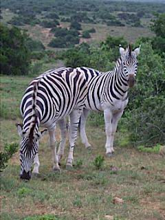 Zebra's en ander wild spotten